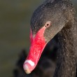 Black swan portrait — Stock Photo #70199105