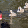 Black swan family — Stock Photo #70199305
