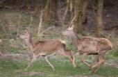 Red deer and hind running — Стоковое фото