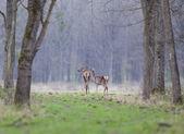 Cervas na floresta — Fotografia Stock