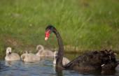 Black swan family — Stock Photo