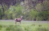 Red deer in spring — Стоковое фото