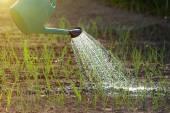 タマネギの庭の水まき — ストック写真