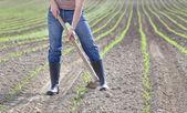 Hoeing corn field — Stock Photo