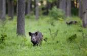 Wid boar in forest — Stock fotografie