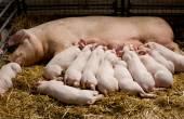 Piglets suckling — Stock Photo
