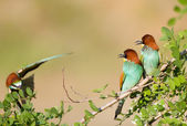 Bee-eater couple with third one — Stock Photo