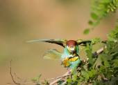 Bee-eater couple mating — Stock Photo