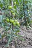 Green tomato growing in the garden 2 — Stock Photo