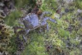 European Green Baby Crab — Stock Photo