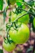 The maturation of tomatos — ストック写真