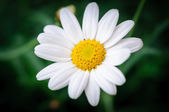 Ox eye daisy Bellis Perennis — Stock Photo