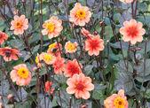 Orange red dahlias — Stock Photo