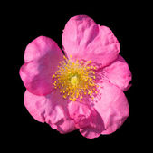 Wild rose — Stock Photo