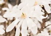 White Magnolia flowers — Стоковое фото