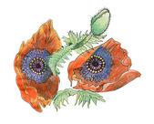 Two poppies — Stock Photo