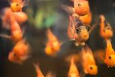 Orange fish — Stock Photo