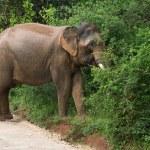 Male Sri Lankan elephant — Stock Photo #61276191