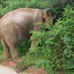 Male Sri Lankan elephant — Stock Photo #61276199