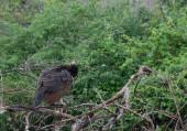 Peafowl in tree — Photo
