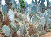 Path in Platyopuntia cactus garden — Stock Photo