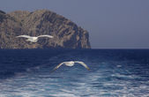 Two seagulls flying in the wake at Formentor, Majorca — ストック写真