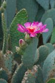 Hot pink cactus flowers — Stock Photo