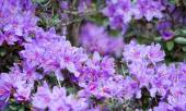 Purple rhododendron flowers closeup — Stock Photo