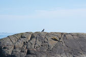 Singing magpie on rock — Stock Photo