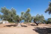 Obszarów wiejskich drzew oliwnych w nadmorskiej farmy z Morza Śródziemnego vie — Zdjęcie stockowe