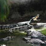 ������, ������: Crocodile