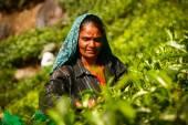 MUNNAR, KERALA, INDIA - 08 JAN 2015: Female tea picker are on tea plantation in Munnar, January 8, 2015. — Stock Photo