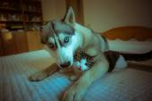 The dog hugs a cat. Cute blue-eyed husky puppy and little pussy — Stock Photo