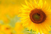 close up sunflower in meadow — Stock Photo