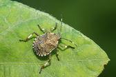 Stinkbug on green leaf — Stock Photo