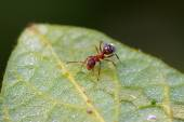 Mercerized brown forest ants — Stock Photo