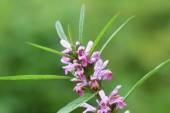 Labiatae flowers motherwort — Stock Photo