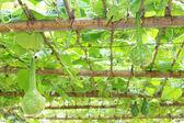 Grow sturdily gourd — Stock Photo