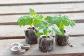 Tomato seedlings in peat tablets — Stock Photo