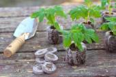 Planting tomato seedlings in peat pellets on wooden background — Stockfoto
