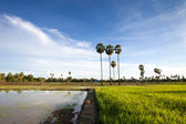 Landscape with rice filed and sugar palm — Stock Photo