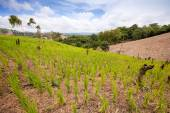 Green  rice field — Stock Photo