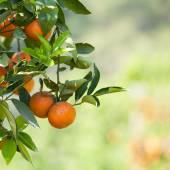 Fresh orange on plant, orange tree — Stock Photo
