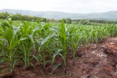 Young corn in field — Stock Photo