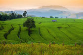 Green Terraced Rice Field in morning at Chiangmai, Thailand — Photo