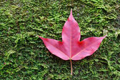 Red maple leaves on stone moss — Stock Photo