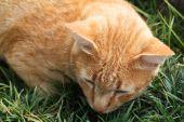 Thai cat , close up — Stock Photo