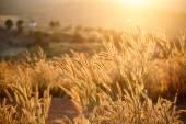 Foxtails grass  under sunshine ,close-up selective focus — Stock Photo