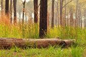 Broken pine tree in forest — Stock Photo