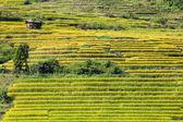 Campo amarillo arroz aterrazados en Ban Pa Bong Peay en Chiangmai, Tailandia — Foto de Stock
